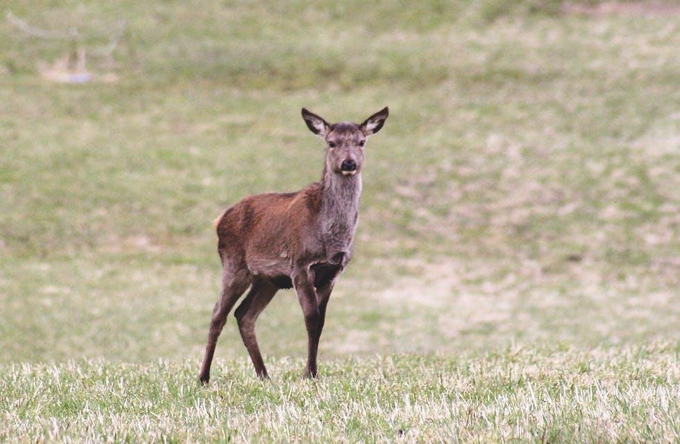 Fredag kom svaret på dei endelege prøvane frå hjorten som vart felt i Etne. Arkivfoto: Arne Frøkedal