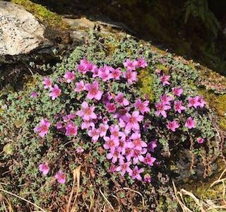 Raudsildre i blom på fjellgrunn ved Søra Buskòr, heilt aust på Gråhorgjo.  Tatt 1. april. Ca 500 moh.  Foto: Gunnar Dalen