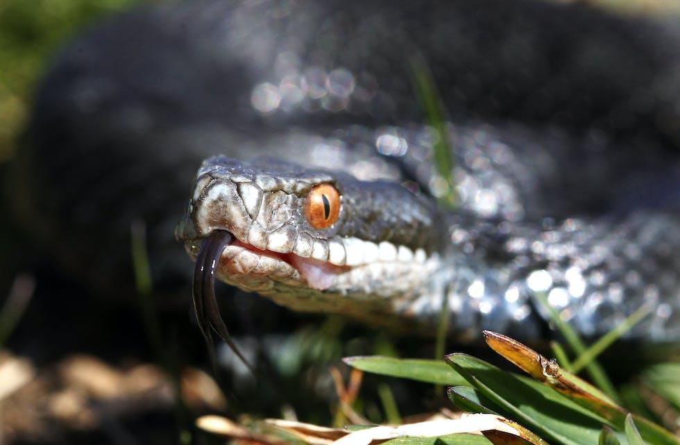 Hoggorm er ein av 3 ormar i norsk fauna og den einaste giftige slangen. Hoggormen er freda i Noreg men ikkje utryddingstruga. Foto: Cornelius Poppe / NTB / NPK