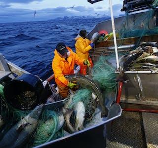 Fiskeridirektoratet vil setje i verk prosessar for å rydde i praksis rundt bruk av såkalla heimfarfisk eller kokfisk. Målet er å sikre at all fisk som blir fiska i ervervssamanheng, faktisk blir ført i ressursrekneskapen og blir kvoteavrekna. Illustrasjonsfoto: Cornelius Poppe / NTB / NPK